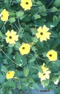 Thunbergia, also known as black-eyed Susan vine or clock vine, is a yellow annual flower.