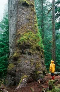 In the Northern Hemisphere, moss on the southern side of trees is usually greener.
