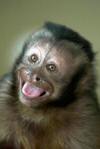 Capuchin monkeys like Minnie, shown above, make great helper monkeys. They also appear to exhibit a sense of fairness.