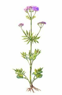 Valerian is commonly used for insomnia, anxiety, and hyperactivity. Learn more about valerian and making valerian herbal tea.