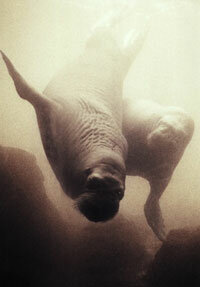 A walrus takes a swim in the ocean.