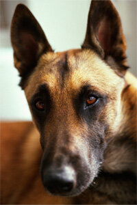 Up close with a Belgian Malinois, a popular military working dog.