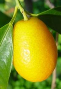 Kumquats are high in vitamin C.