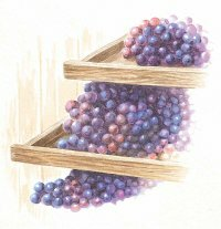 The traits of the grape ultimately determine the wine's character.