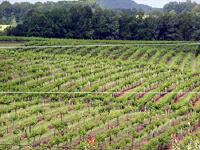 A vineyard