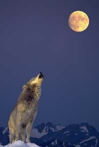 The wolf-moon connection has been around in folklore since ancient times. See more wolf pictures.
