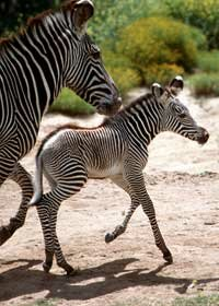 Grevy's zebras have narrower stripes and black stripes running down their spines.
