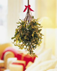 Mistletoe has quite a fertile past, which may be what led to the modern-day tradition of kissing underneath it.