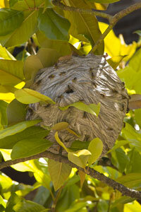 If you see a wasp nest like this one, stay away from it.