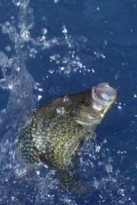 Panfish, like this black crappie, are the most frequently caught type of fish in North America.