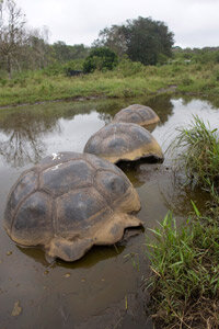 Giant tortoises rest in a pond in Puerto Ayora, Galapagos. The islands got their name from the massive animals.