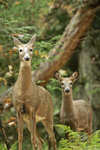 If you haven't disguised your scent, these whitetailed deer will smell you coming.