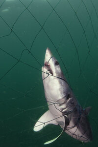 Even in oxygen-rich water, a net will impair a shark's movement so it can't breathe.