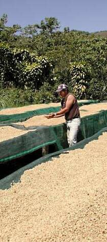 Shuffling coffee beans around on drying tables in the sun