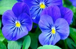 Pansies come in a wide variety of colors and are a popular annual in the South.
