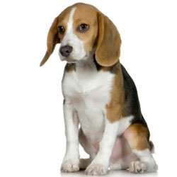 Beagles are incredibly sweet and loyal dogs -- and adorable to boot!