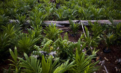The growth of palm oil plantations in Indonesia has led to massive amounts of deforestation.