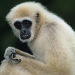 It can be hard to find the right room for your gibbon.