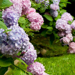 The hydrangea bush in your backyard is a treasure trove of eco-friendly wedding blooms!