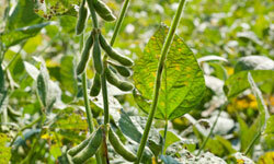 Soybeans are very versatile and have a promising future in the biofuel industry.