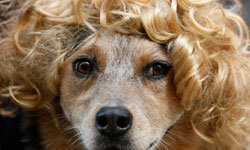 We'd love to see if this pooch could pull off being a redhead as well as a blond.