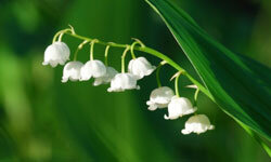 Delicate lily of the valley makes a big statement with a little bloom.