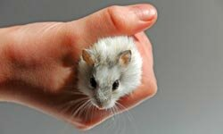 Taking care of a few mice in a cage is a classic example of a child's first pet.