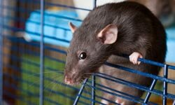 Domesticated rats are often overlooked, but they can make great pets for kids.