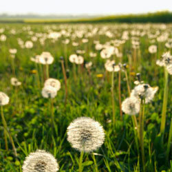 Dandelions are often viewed as weeds, but they're actually quite beautiful.