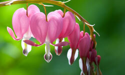 Bleeding heart doesn't require much sunlight to grow its delicate blossoms.