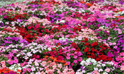Impatiens are a gorgeous solution to filling the gaps in your low-light garden.