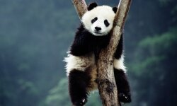 Not just adorable, no: Pandas are bacteria factories whose gut flora can reduce kitchen waste by 90 percent!