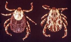 Tick bites may infect humans with Rocky Mountain spotted fever.