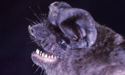 The Jamaican fruit bat can carry a rabies virus that can be transmitted to humans.