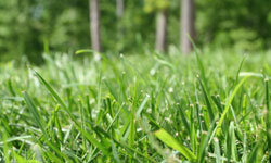 Bermuda grass is popular for golf greens, parks and yards.