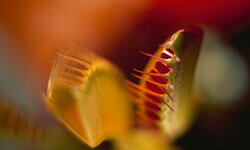 This Venus flytrap is a bit too small to swallow a human whole. But insects should watch out.