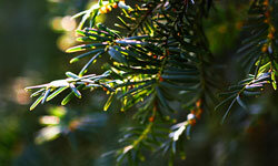 The toxic English yew tree has come to represent both death and the immortality of the soul.