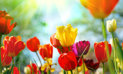 Tulips are available in a wide palette of colors.