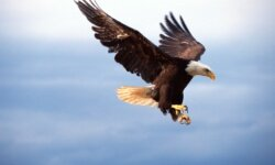 If this bald eagle is pursuing the American Dream, we'd wager he's pretty close to reaching it.