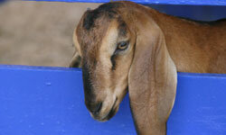 Goats give off an odor that lingers.