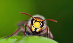 The yellow jacket may be small, but its venomous sting is still painful.
