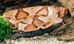 The copperhead adapts easily to living near humans, even in cities.