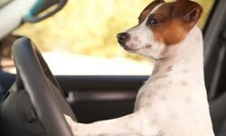 Make sure your pooch is safely strapped in his harness before you hit the open road. See more dog pictures.