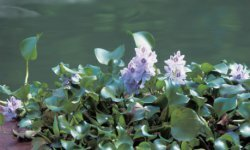 The water hyacinth demonstrates an impressive aptitude for filtration.