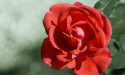 Roses are often shot with shallow depth of field to minimize distracting background elements with blur.