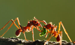 Leafcutter Ants, Costa Rica. Want to see more? Check out our insects and biodiversity pictures!