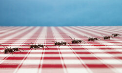 You know there's a formic acid trail in your house if you see a large number of ants following exactly the same path along walls and ceilings -- a path that usually terminates at a food source.