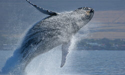 This humpback can't fly, but its fins might help us take to the skies.
