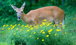 You can use aluminum foil to protect your plants and shrubs from deer.