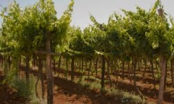 Wine made from organic grapes is certified to be free of added sulfites.